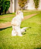 Maltese dog stand up waiting for food in the sun. Maltese dog stand up waiting for food Royalty Free Stock Photography