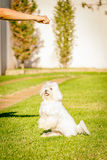 Maltese dog stand up waiting for food in the sun. Maltese dog stand up waiting for food Royalty Free Stock Photo