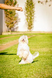 Maltese dog stand up waiting for food in the sun. Maltese dog stand up waiting for food Stock Photo