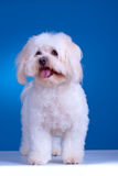 Maltese dog standing. In front of blue background Royalty Free Stock Photography