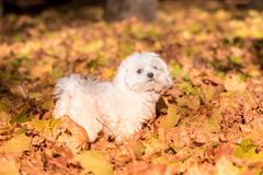 Maltese dog is standing on the Autumn leaves ground Royalty Free Stock Photos