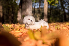 Maltese dog is standing on the Autumn leaves ground Royalty Free Stock Images