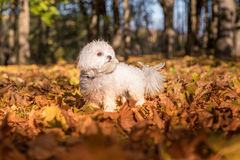 Maltese dog is standing on autumn leaves ground. Stock Photo