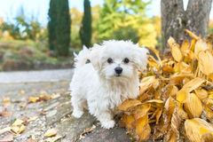 Maltese dog standing next to the autumn leaves. A little white Maltese dog standing next to the leaves Royalty Free Stock Image
