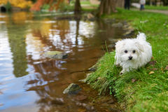Maltese dog standing next to the pond. A little white Maltese dog standing next to the water Royalty Free Stock Photos
