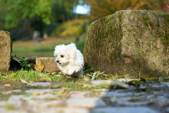 Maltese dog standing in the sun in park. A little white Maltese puppy standing on the rock Royalty Free Stock Photography