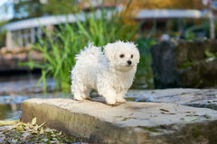 Maltese dog standing in the sun in park. A little white Maltese puppy standing on the rock Stock Photo