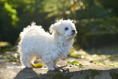 Maltese dog standing in the sun in park. A little white Maltese puppy standing on the rock Royalty Free Stock Image