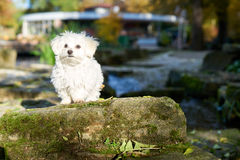 Maltese dog standing in the sun in park. A little white Maltese puppy standing on the rock Stock Photos