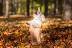 Maltese dog is standing on two legs. Open Mouth, Tongue Out. Royalty Free Stock Image