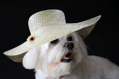 Maltese dog with straw hat. Portrait of a maltese dog  wearing a straw hat Stock Photography