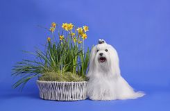 Maltese dog. Studio shot of a dog with a white background Royalty Free Stock Images