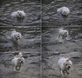 Maltese dog swimming in a river. Set of photographs showing a Maltese dog swimming in a river and running wet on the riverbank Stock Photography
