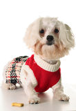 Maltese dog with a treat. Shot of a maltese dog with a treat Royalty Free Stock Image