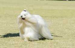 Maltese dog. A view of a small, young and beautiful Maltese show dog with long white coat running on the grass. Maltese dogs have silky hair and are Stock Photography