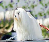 Maltese dog Royalty Free Stock Image