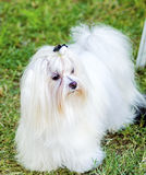 Maltese dog. A view of a small, young and beautiful Maltese show dog with long white coat standing on the lawn. Maltese dogs have silky hair and are Royalty Free Stock Photo
