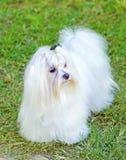 Maltese dog Royalty Free Stock Images