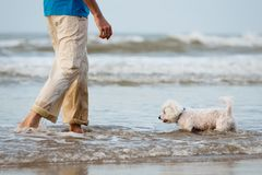 Maltese dog walking in the water with owner. Man hands and legs. Water background Royalty Free Stock Photos