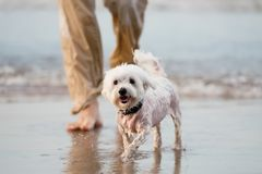 Maltese dog walking in the water with owner. Man legs. Water background Stock Photography