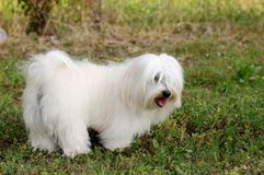 Maltese dog Stock Photography
