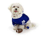 Maltese Dog waring football uniform. Maltese dog isolated on white wearing blue football uniform Royalty Free Stock Photo