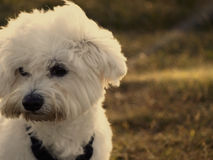 Maltese dog. In a warm day Royalty Free Stock Photo