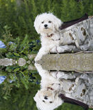 Maltese dog with water reflection Stock Photos