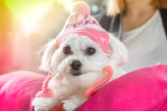 Maltese dog wearing a cap. Sits on a pillow Royalty Free Stock Photo