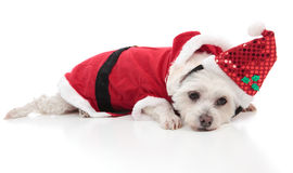 Maltese dog wearing a santa costume. A small whtie dog wearing a santa costume for Christmas.   White background Stock Photos