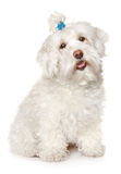 Maltese dog on white background. Maltese (dog) on white background Stock Image