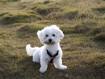Maltese dog. White maltese dog in the park Royalty Free Stock Images