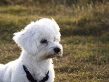 Maltese dog. White maltese dog in the park Stock Photography