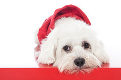 Maltese dog in white studio. With red dress Royalty Free Stock Image