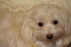 Maltese Dog White Royalty Free Stock Photo