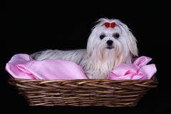 Maltese Dog in wicker basket. A cute white Maltese dog with red ribbon in a basket against a black background Stock Photography