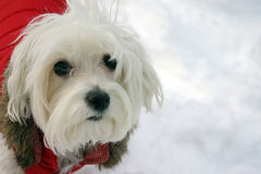 Maltese Dog in Winter Jacket Stock Image