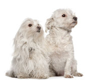 Maltese dogs, 5 and 7 years old, sitting. In front of white background Stock Photography