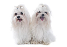 Maltese dogs Royalty Free Stock Images