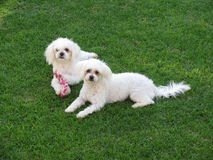 Maltese Dogs. Small dogs with toy on lawn Royalty Free Stock Images
