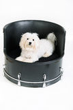 Maltese drummer dog. Shot of a maltese drummer dog Stock Photo