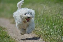 Maltese en hond die lopen springen Royalty-vrije Stock Foto