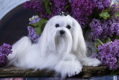 Maltese and flowers lilac. Maltese dog and flowers lilac Royalty Free Stock Photos