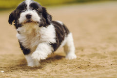 Maltese Fluffy Baby Dog Stock Image