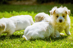 Maltese Fluffy Baby Dog Royalty Free Stock Image