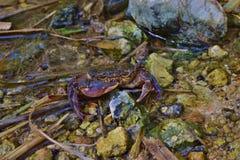 Endangered Maltese freshwater crab, Potamon fluviatile, in water stream. Maltese freshwater crab, Potamon fluviatile, rare threatened species, at risk of royalty free stock photos