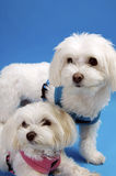 Maltese Friends. Little white maltese pets on a blue background Royalty Free Stock Image