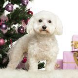 Maltese in front of Christmas decorations. Against white background Royalty Free Stock Image