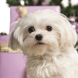 Maltese in front of Christmas decorations. Against white background Stock Photography