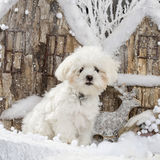Maltese. In front of a Christmas scenery Royalty Free Stock Photos